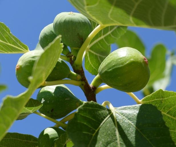 fig-tree-1